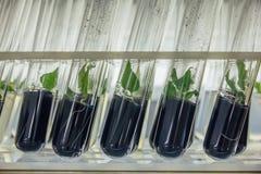 Закройте вверх по взгляду к трубкам с microplants в nutrient средстве с добавлять активированного угля Стоковые Изображения