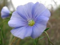 Закройте вверх по взгляду одного голубого цветка льна стоковая фотография rf