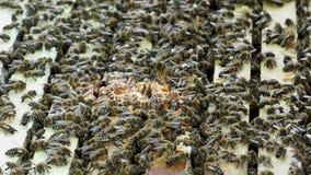 Закройте вверх по взгляду открытой крапивницы показывая рамки заселенные пчелами меда акции видеоматериалы