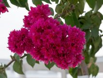 Закройте вверх по взгляду розового цветка бугинвилии с предпосылкой нерезкости Стоковые Фото