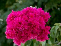 Закройте вверх по взгляду розового цветка бугинвилии с предпосылкой нерезкости Стоковое Фото
