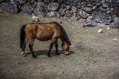 Закройте вверх по взгляду со стороны одной лошади пася сухую траву на замороженном grou стоковая фотография