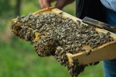 Закройте вверх по взгляду фермера держа рамку с пчелами Стоковые Изображения RF
