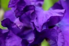 Закройте вверх по взгляду фиолетовых лепестков радужки Стоковые Изображения