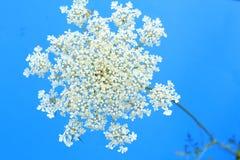 Закройте вверх по взгляду цветка шнурка ` s ферзя Энн Стоковые Изображения RF
