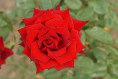 Закройте вверх по взгляд сверху полу-открытые курчавые яркие красные розы стоковое изображение rf
