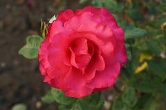 Закройте вверх по взгляд сверху полу-открытые яркие розовые розы стоковая фотография