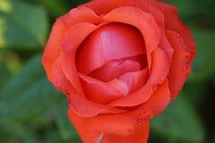 Закройте вверх по взгляд сверху разнообразий полу-открытых ярких розовых цветка  стоковое изображение
