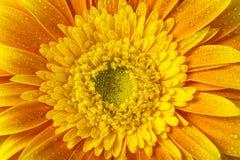 Закройте вверх по взгляду желтого цветка Стоковое Изображение