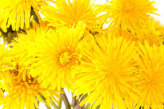 Закройте вверх по взгляду желтых цветков одуванчика Стоковое Фото