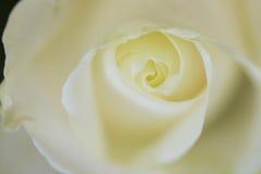 Закройте вверх по взгляду красивой белой розы Стоковое Изображение RF