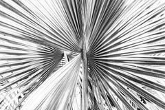 Закройте вверх по взгляду красивых зеленых серых лист ладони Стоковое Изображение