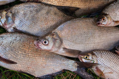 Закройте вверх по взгляду кучи общих рыб леща, crucian рыбы, ro Стоковая Фотография RF