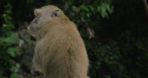 Закройте вверх по взгляду макаки на пещерах Batu на запачканной зеленой предпосылке Gombak, Selangor, Малайзия акции видеоматериалы