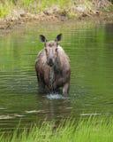 Закройте вверх по взгляду лося в озере Стоковые Фото