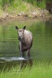Закройте вверх по взгляду лося в озере Стоковое Фото