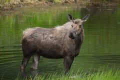 Закройте вверх по взгляду лося в озере Стоковые Изображения RF