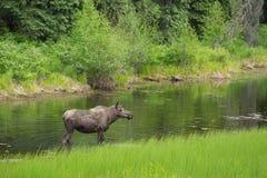 Закройте вверх по взгляду лося в озере Стоковые Изображения