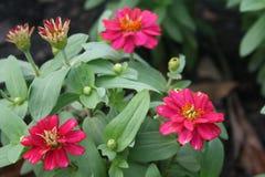 Закройте вверх по взгляду цветков zinnia в саде Стоковое Фото