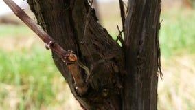 Закройте вверх по виноградному вину кровотечения видеоматериал