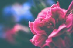 Закройте вверх по гвоздике в саде, barbatus гвоздики Стоковые Фотографии RF