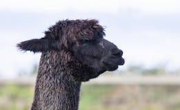 Закройте вверх по голове черной альпаки меха в отечественной ферме Стоковое Изображение