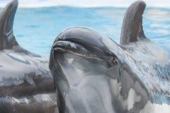 Закройте вверх по голове дельфина в воде бассейна Стоковая Фотография