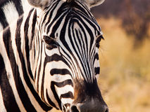 Закройте вверх по голове зебры Стоковые Фотографии RF