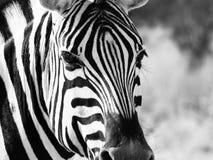 Закройте вверх по голове зебры Стоковое Изображение RF