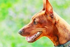 Закройте вверх по голове миниатюрного Pinscher собаки Брайна Стоковые Изображения RF