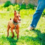Закройте вверх по голове миниатюрного Pinscher собаки Брайна Стоковые Фото