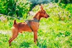Закройте вверх по голове миниатюрного Pinscher собаки Брайна Стоковое Изображение