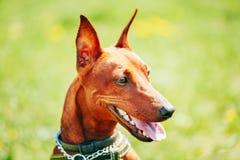 Закройте вверх по голове миниатюрного Pinscher собаки Брайна Стоковые Изображения
