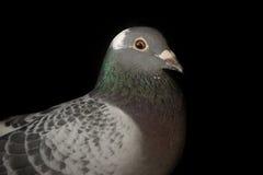 Закройте вверх по голове птицы голубя гонок скорости на черной предпосылке Стоковое фото RF
