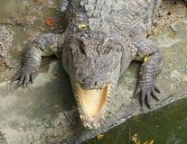Закройте вверх по головному сиамскому крокодилу в зоопарке стоковые изображения rf