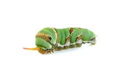 Закройте вверх по гусенице изолированной на белой предпосылке Стоковые Фотографии RF