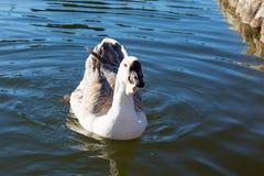 Закройте вверх по гусыне в озере Стоковые Изображения