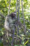 Закройте вверх по дереву джунглей подъемов лени вертикали 3 Toed Стоковое Фото