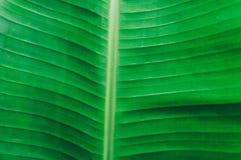 Закройте вверх по детальному взгляду зеленого банана предпосылка лис стоковые фотографии rf