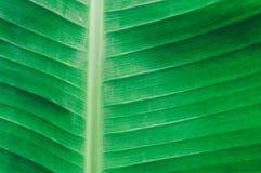 Закройте вверх по детальному взгляду зеленого банана предпосылка лис стоковые изображения rf