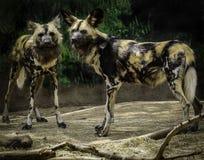 Африканские покрашенные собаки стоковое изображение rf