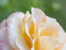 Закройте вверх по лепестку розы Стоковая Фотография RF