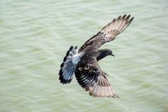 Закройте вверх по летанию голубя над зеленым озером Стоковые Фото