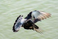 Закройте вверх по летанию голубя над зеленым озером Стоковая Фотография RF