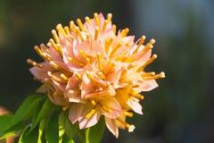 Закройте вверх по желтой бугинвилии, желтому цветку на backg природы Стоковое Фото