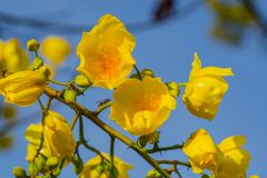 Закройте вверх по желтым цветкам дерева silk хлопка Цветок Adenium тропический Стоковые Изображения