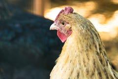 Закройте вверх по животноводческой ферме курицы цыпленка Стоковые Фото