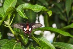 Закройте вверх по животу aristolochi Pachliopta бабочки общего розового Стоковые Изображения RF