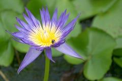 Закройте вверх по заводам цветка лотоса и цветка лотоса Стоковые Фото