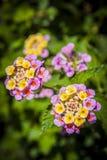 Закройте вверх по зацветать цветков стоковая фотография